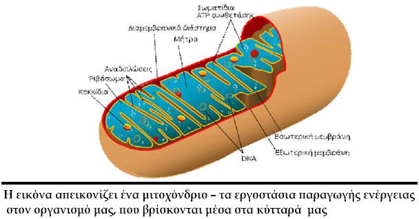 mitohondrio